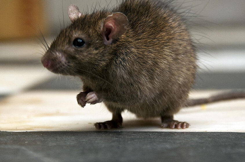 The Importance of Commercial Rat Control during the Coronavirus Pandemic